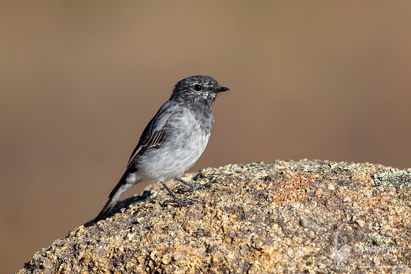 Hooded Robin (Immature Male)
