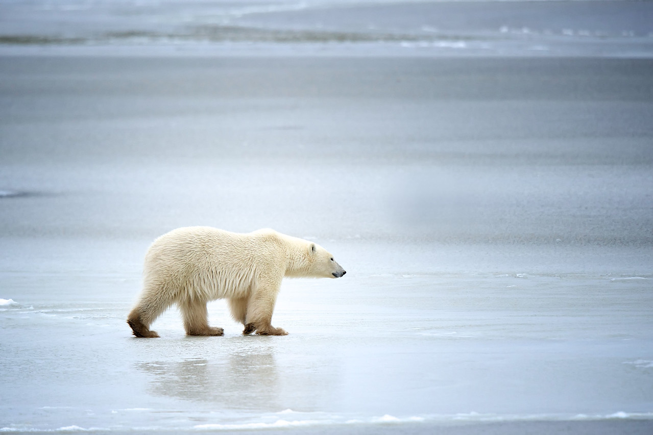 On thin ice - another polar bear pic for Polar Bear Week