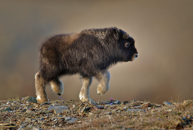 A baby Musk Ox just a few weeks old. - 2010-05-23 23-51-59 - Version 2