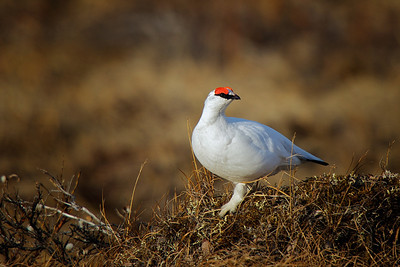 Willow Ptarmigan - 2010-05-25 22-41-23