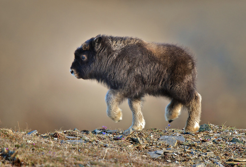 A baby Musk Ox just a few weeks old. - 2010-05-23 23-51-59
