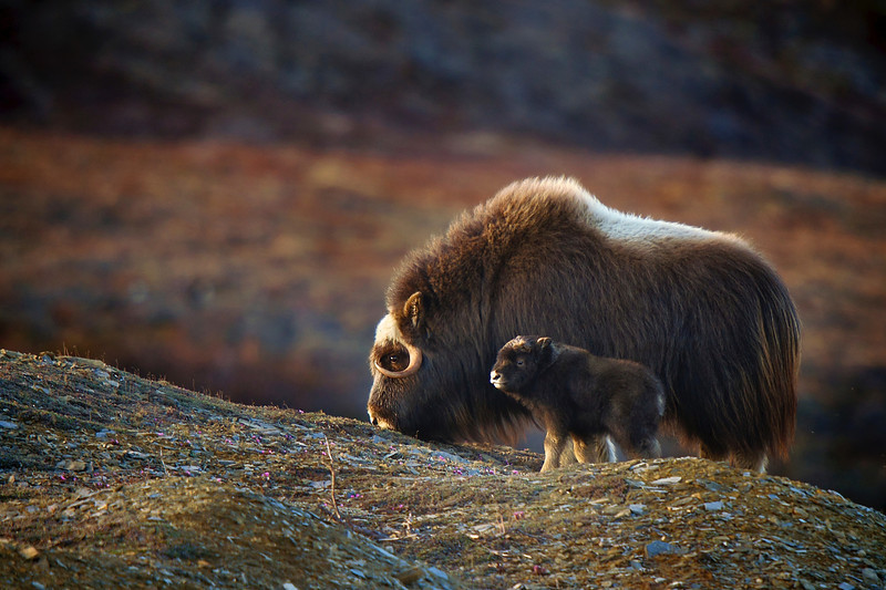 Musk Ox - Selected in National Geographic My Shot