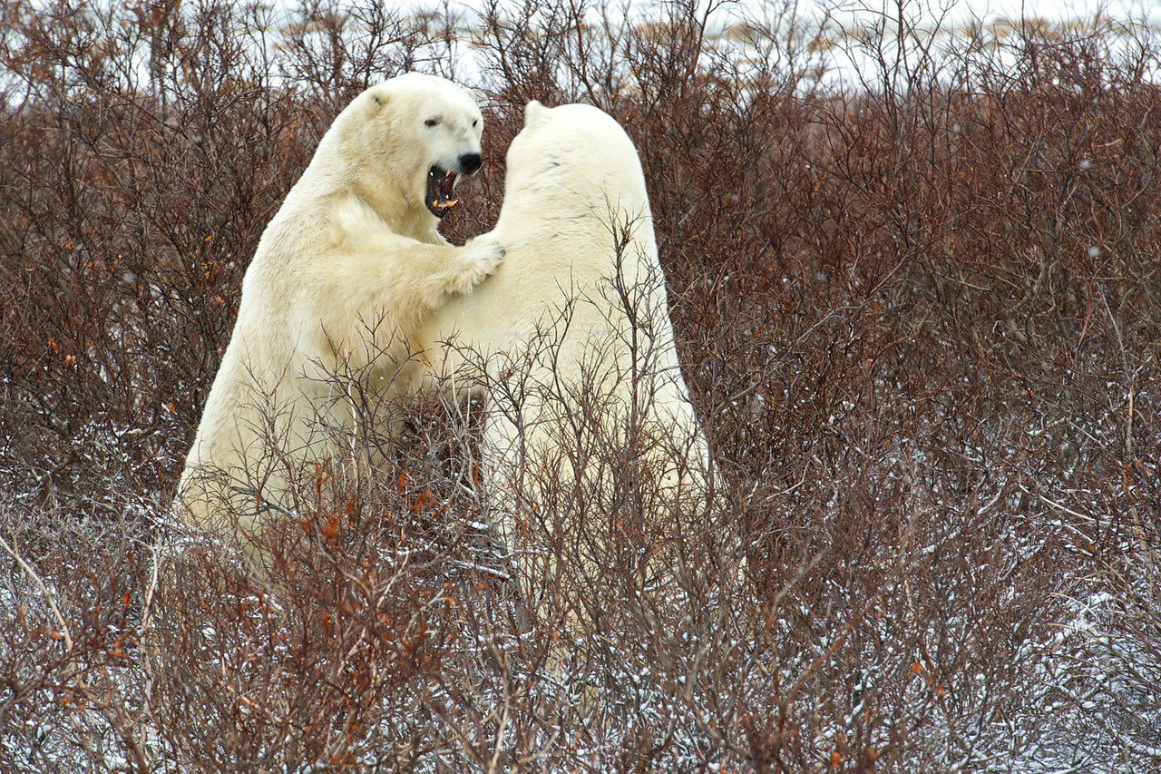 Polar Bear Sparring