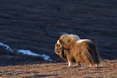Musk Ox in the evening light