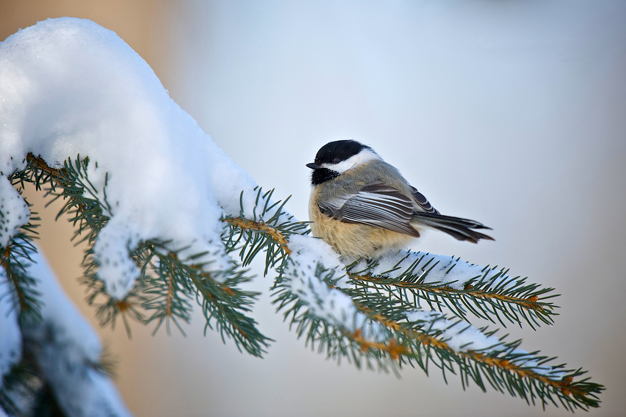 Black Capped Chickadee (1) - 2011-01-30 12-31-09
