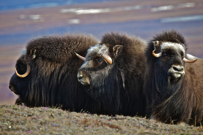 Musk Ox in a protective circle