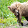 Brown bears in Lake Clark