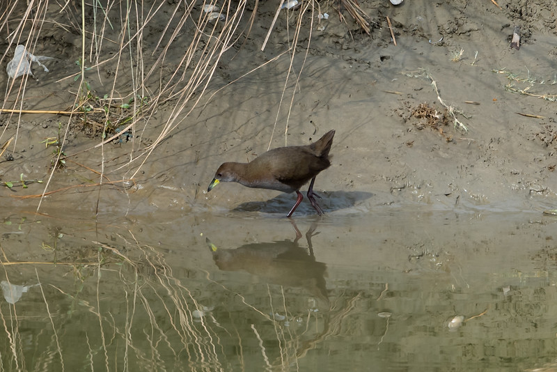 Brown Crake