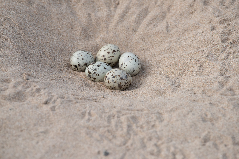 Indian Skimmer (nest)