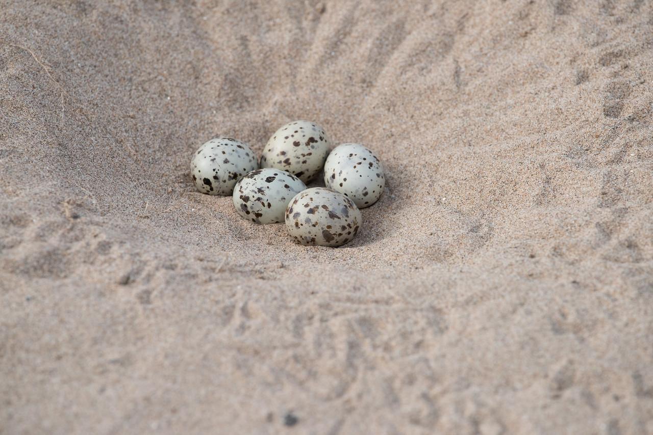 Indian Skimmer (nest)