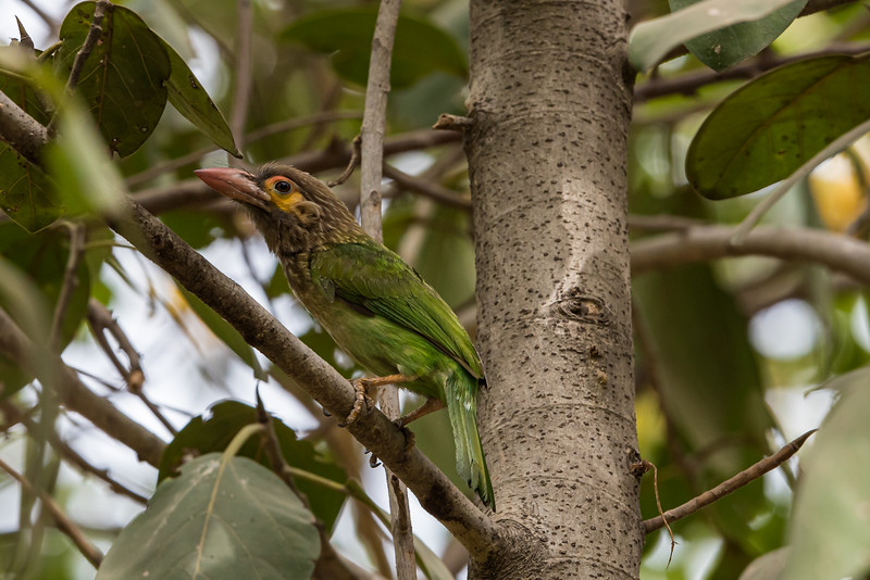 Brown-headed Barbet