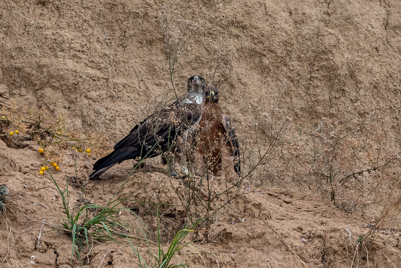 Bonnelli's Eagle (f) and Subaduly