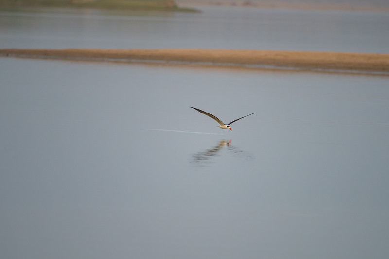 Indian Skimmer (skimming water)
