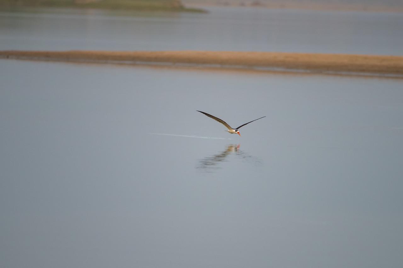 Indian Skimmer (skimming water)