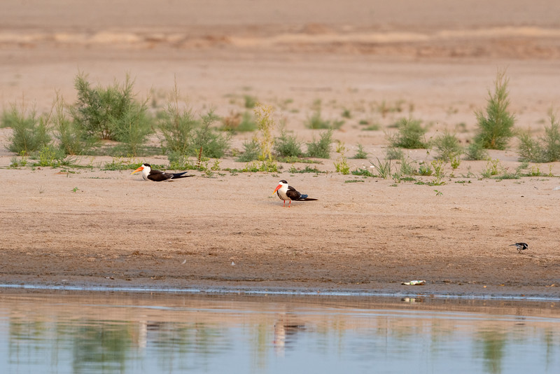Indian Skimmer (nesting pair)