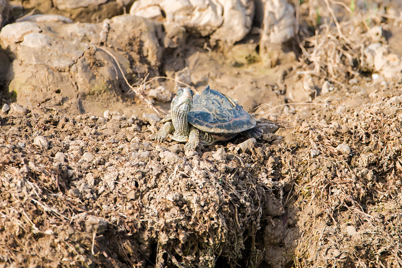 Indian Tented Turtle (young)