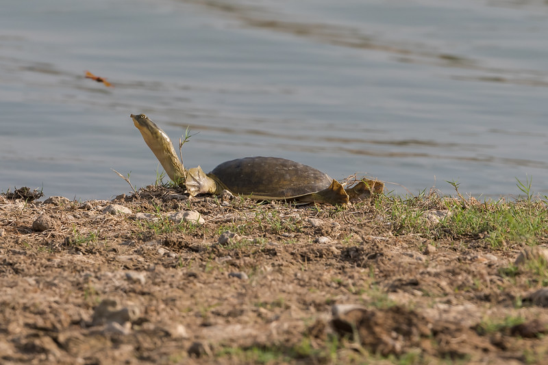 Indian Soft-shelled Tented Turtle