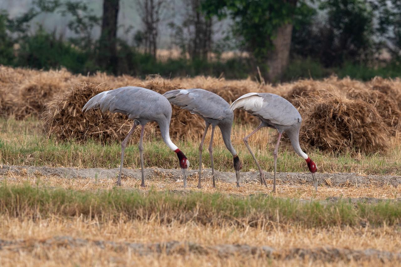 Sarus Crane family