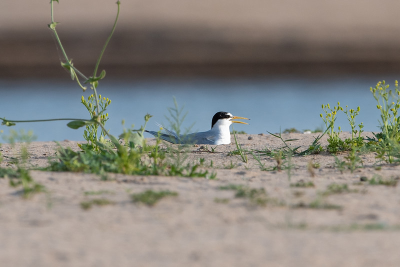 Little Tern nesting