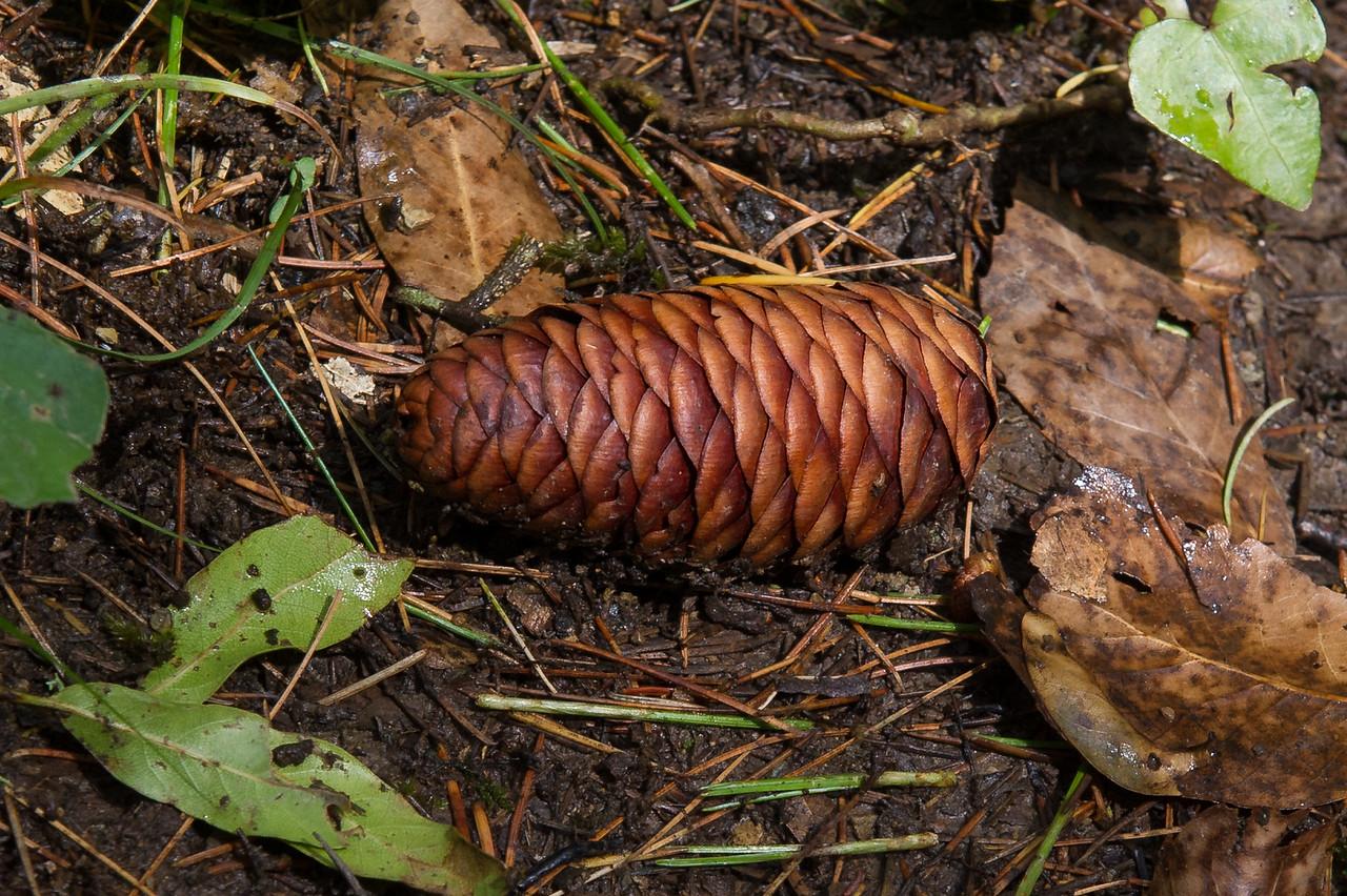 Himalyan Cedar - Cone (f)