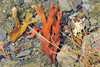 Rockweed (Fucus vesiculosus) at Totem Bight State Historical Park.