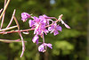 Chamerion angustifolium, commonly known as Fireweed at Totem Bight State Historical Park