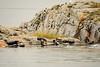 Next to New Eddystone Rock is a colony of Harbor Seals (Phoca vitulina),