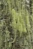 Methusula's beard (Usnea longissima)