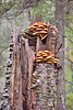 Honey Mushroom (Armillaria sp.) and Dyers' Polypore (Phaeolus schweinitzii)