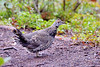Spruce Grouse or Canada Grouse (Falcipennis canadensis)