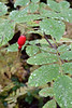 Edible Rosehip on Prickly Rose (Rosa acicularis)