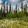 Alberta Wildflowers