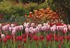 Display Gardens at Roozengaarde Bulb Farm, Mount Vernon, Washington