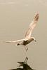 Juvenile American Herring Gull  (Larus smithsonianus )