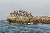 Pelagic cormorants (Phalacrocorax pelagicus) and Herring Gulls