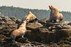 Steller Sae Lions (Eumetopias jubatus)