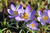 Honey Bee finds the first crocuses of thge Spring