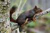 Douglas Squirrel, that we named Dougie