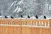Crows in Snow
