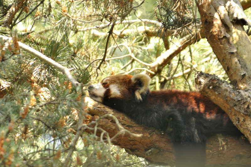 Red Panda at the Woodland Park Zoo in Seattle
