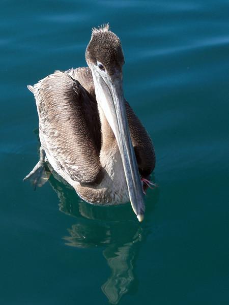 Pelican, 3 miles off shore, Redondo, California