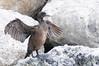 Cormorant, drying its wings.<br /> King Harbor, California USA