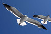 Sea Gulls<br /> Catalina Channel