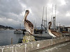Pelicans<br /> Morro Bay, California