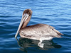 Pelican, 3 miles off shore, Redondo, California