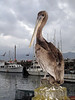 Pelican<br /> Morro Bay, California