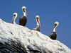 Pelicans on Henrock<br /> Catalina Island, Calfornia USA