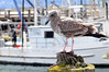 Gull, juvenile<br /> Morro Bay, California