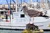 Gull, juvenile<br /> Morro Bay, California