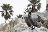 Pelican, drying out.<br /> King Harbor, California USA